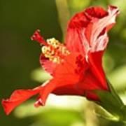 Hibiscus Loving Sun Poster