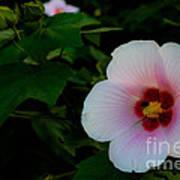 Hibiscus Mutabilis Flower Poster