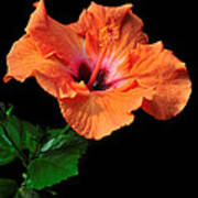 Hibiscus On Black - One Poster