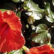 Hibiscus Red Poster