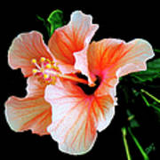 Hibiscus Spectacular Poster by Ben and Raisa Gertsberg