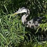 Hiding Blue Heron Poster