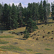 High Angle View Of Bisons Grazing Poster