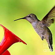 High Flying Hummingbird Poster