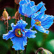 Himalayan Blue Poppy Flower Poster
