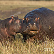 Hippo Cow And Calf Poster