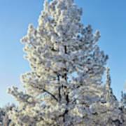 Hoar Frost Ponderos Pine Tree, Sundance Poster