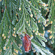 Hoarfrost On Pine Bough Yosemite National Park Poster