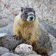 Hoary Marmot Poster