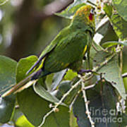 Hoffman's Conure Poster