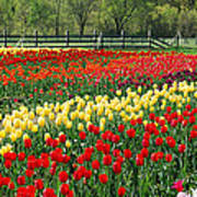Holland Tulip Fields Poster