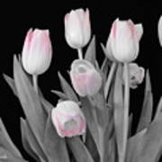 Holland Tulips In Black And White With Pink Poster