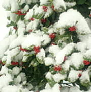 Holly Tree With Snow Poster
