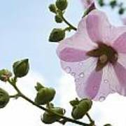 Hollyhock With Raindrops Poster