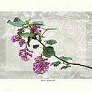 Ribes Sanguineum - California Currant Poster