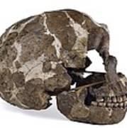 Homo Neanderthalensis Cranium (tabun 1) Poster