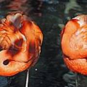 Homosassa Springs Flamingos 14 Poster