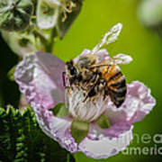 Honey Bee And Blackberry Poster