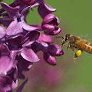 Honey Bee And Lilac Poster