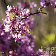 Honey Bee And Redbud Poster
