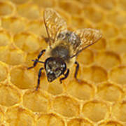 Honey Bee Colony On Honeycomb Poster