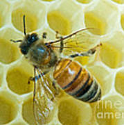 Honey Bee In Hive Poster