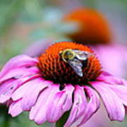 Honey Bee On A Pink Daisy Poster