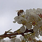Honey Bee On Almond Blossom   #9636 Poster