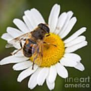 Honey Bee On Daisy Poster