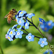 Honey Bee On Forget-me-not Flowers Poster