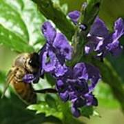 Honey Bee On Purple Flower Poster