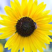 Honey Bee On Wildflower Poster