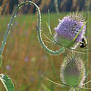 Honey Bee Picks Up Pollen Poster