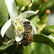 Honey Bee Pollinating Orange Blossom Poster