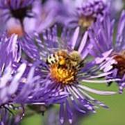 Honeybee And Aster Poster