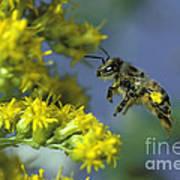 Honeybee In Flight Poster