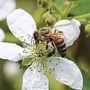 Honeybee On A Blackberry Blossom Poster