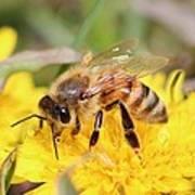Honeybee On A Dandelion Poster