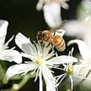 Honeybee On Clematis Poster
