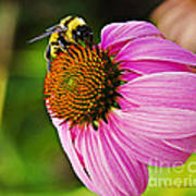 Honeybee On Echinacea Flower Poster