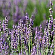 Honeybees On Lavender Flowers Poster