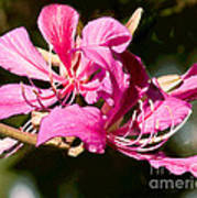 Hong Kong Orchid Tree Flower Blooms Poster