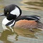 Hooded Merganser Drake Poster