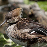 Hooded Merganser Female Poster
