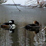Hooded Merganser Mates Poster