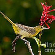 Hooded Oriole Female Poster