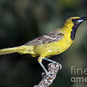 Hooded Oriole Juvenile Poster