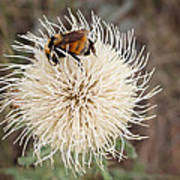 Hooker's Thistle With Bumblebee Poster