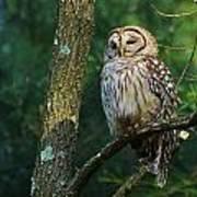 Hootie Barred Owl Poster
