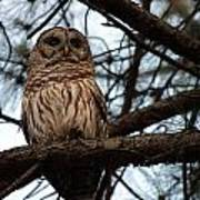 Hootie The Barred Owl A Poster